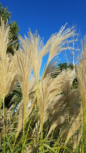 Pampas grass plumes in early autumn Autumn Beauty In Nature Blue Clear Sky Close-up Day Growth Nature No People Outdoors Pampas Grass Plant Plugs Scenics Sky Sunlight Vertical