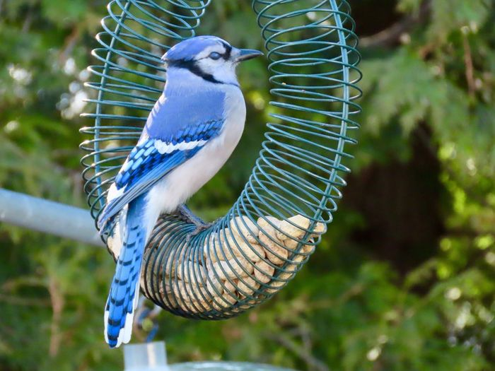 Birds of EyeEm blue jay perched on a peanut feeder closeup birdwatching beauty in nature focus on the foreground green background One Animal No People