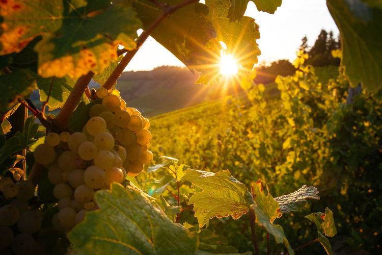 Close-up of grapes growing in vineyard at sunset