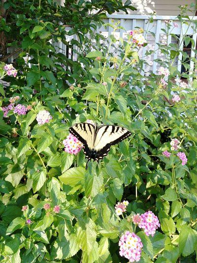 Swallowtail Butterfly Flowers,Plants & Garden Nature's Diversities