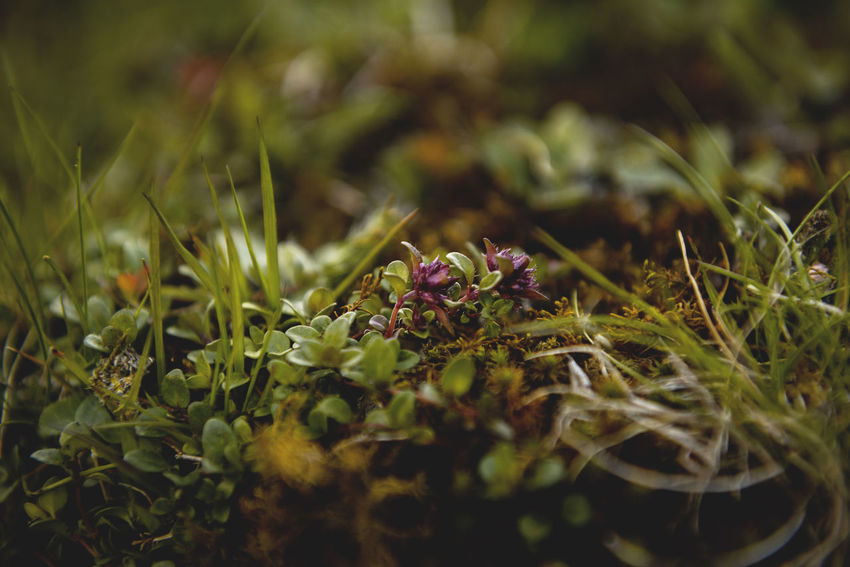 Botanical series: Micrology / Shot with Nikon D800E Alpine Grass Green Micro Plants Thymus Citriodorus Thymus Pulegioides Zitronenthymian Alps Beauty In Nature Botanical Close-up Fragility Freshness Green Color Growth Lemon Thyme Macro Micrology Mini Moos Moss Mountain Plants Nature Selective Focus