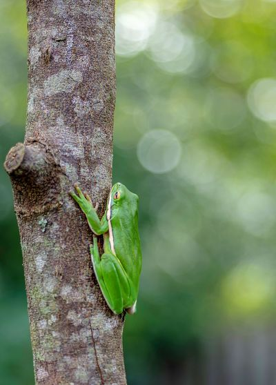 Tree frog on trunk EyeEm Gallery EyeEm Nature Lover Cool Creatures Bokeh Closeup Amphibian Frog Plant Focus On Foreground Animal Themes Leaf Plant Part Close-up Day Animal Wildlife Green Color Animals In The Wild Nature Growth Animal Tree One Animal No People Beauty In Nature Outdoors