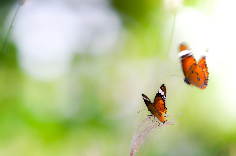 Close-up of orange butterflies by plant