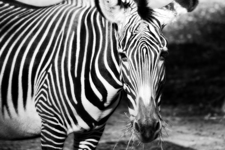 Close-up of zebra standing outdoors