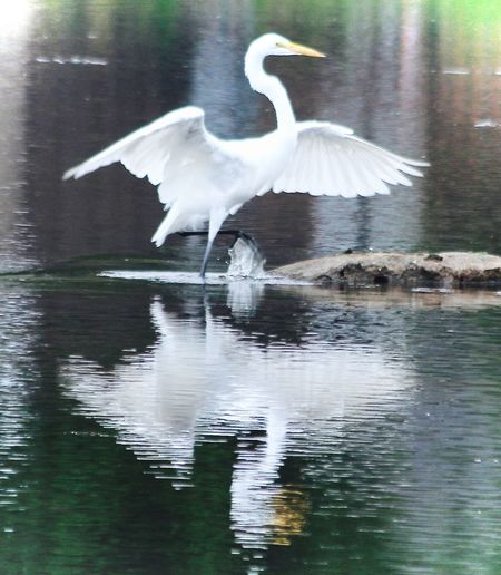 Animal Themes Animal Wildlife Animals In The Wild Beauty In Nature Bird Day Lake Mike Stouffer Nature No People Outdoors Reflection Spread Wings TheSixthLens Water Waterfront
