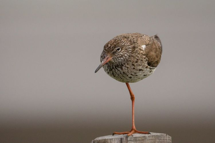Redshank Rotschenkel Sherleben Schleswig-Holstein Bird Photography Nordsee Northsea Animal Themes Animal Bird Animal Wildlife Animals In The Wild One Animal No People Close-up