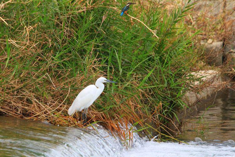 600mm試し撃ち!(*´艸`) 探しても見つからないのに、こんな時にちゃっかり写り込んでるσ(^◇^;)カワセミ 撮影時には気づかなかったし心霊写真レベルだな(;゚ロ゚) Egret Egrets Kingfisher コサギ カワセミ Bird Eyeem Best Shots - Birds Birds Hello World EyeEm EyeEm Gallery EyeEm The Best Shots Eyeem Photography EyeEm Best Shots Birds Of EyeEm  Taking Photos Taking Pictures EyeEmbestshots Eyeemphotography EyeEmBestPics Birds🐦⛅ Birdwatching Birds Of EyeEm  Birds_collection Bird Photography