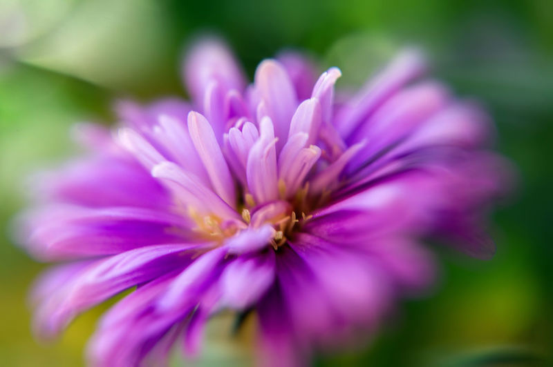 Macro Beauty In Nature Close-up Flower Flower Head Flowering Plant Fragility Freshness Growth Inflorescence Nature No People Outdoors Petal Pink Color Plant Pollen Purple Selective Focus Vulnerability