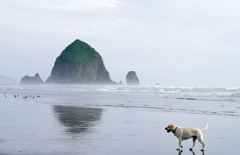 Labrador retriever at cannon beach with haystack rock in sea against sky
