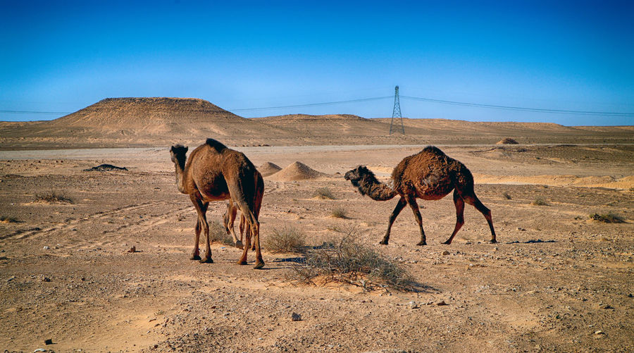 Mammal Sky Domestic Animals Animal Animal Themes Desert Land Pets Nature Landscape Domestic Environment Group Of Animals Vertebrate Clear Sky Livestock Blue Day Camel Scenics - Nature No People Climate Arid Climate Herbivorous Outdoors