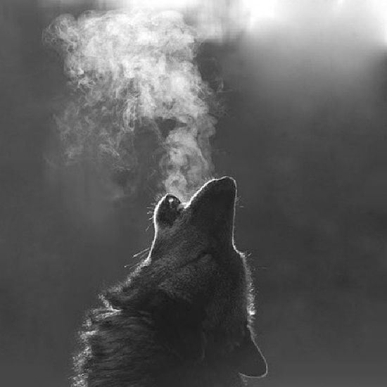 Who will keep company to the wolves will learn how to howl Become The Wolf! Wolf Callofthewild TheKing
