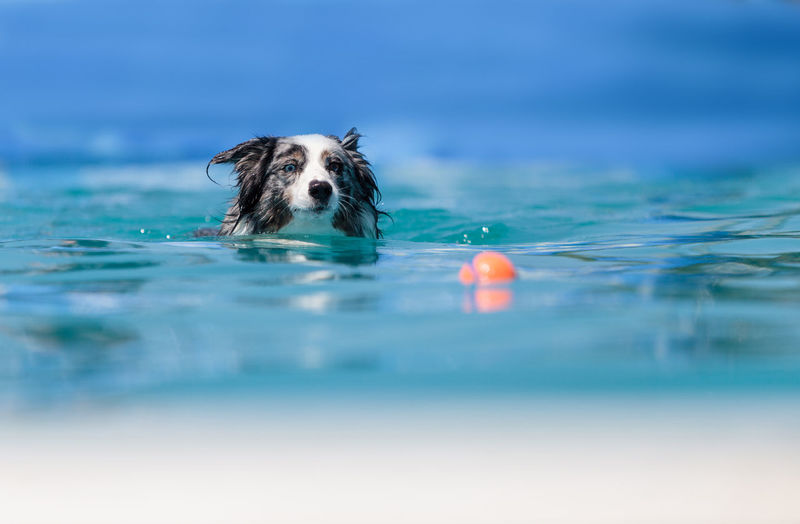 Australian border collie swims with a toy in a pool in summer. Beauty In Nature Blue Close-up Day Focus On Foreground Motion Nature No People Outdoors Rippled Selective Focus Splashing Surface Level Swim, Pool, Dog, Play, Ball, Fetch, Australian, Border, Collie, Fun, Retrieve, Catch, Summer, Water, Exercise, Doggy Paddle, Animal, Mammal, Pet, Energetic Water