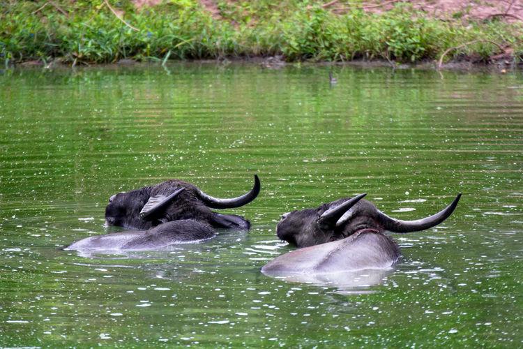 Water buffaloes swimming in lake at yala national park