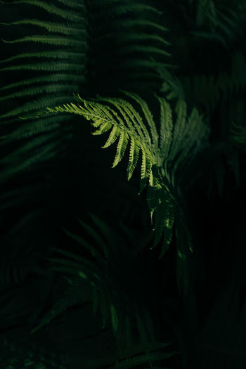 Vascular Plants Fern Fern Leaves Growth Plant Leaf Plant Part Green Color Beauty In Nature Nature Close-up No People Tree Night Tranquility Outdoors Selective Focus Focus On Foreground Frond Botany Full Frame Leaves Coniferous Tree Green Green Color Magical Light Illuminated Polypodiopsida Hackesche Höfe
