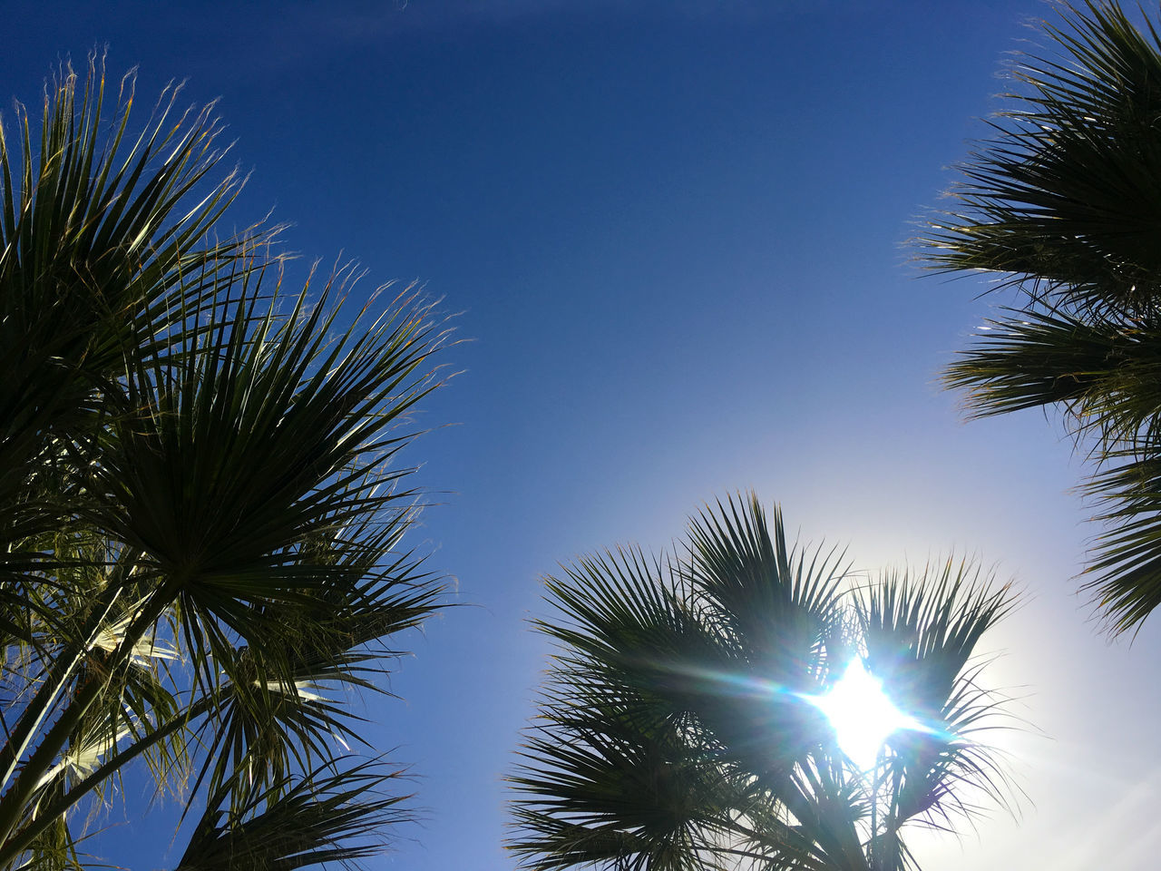 palm tree, low angle view, tree, beauty in nature, nature, clear sky, growth, no people, palm frond, sky, blue, outdoors, tranquility, day, tree trunk, scenics, sunlight, close-up