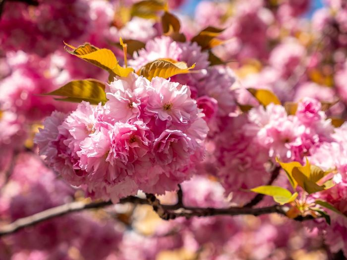 Flower Flowering Plant Plant Beauty In Nature Pink Color Fragility Freshness Growth Blossom Close-up Springtime Flower Head Tree Focus On Foreground