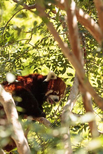 Low angle view of red panda