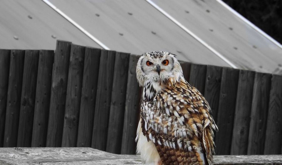 A lovely shot I had the chance to take at the Edinburgh zoo during a demonstration. Earth And Sky Earthbound Creature Of The Night Catching The Moment Piercing Stare Bird Of Prey Outdoors Perching Animal Themes Owl Orange Eyed Owl Edinburgh Zoo Edinburgh Close-up Animal Wildlife No People Nature Bird One Animal