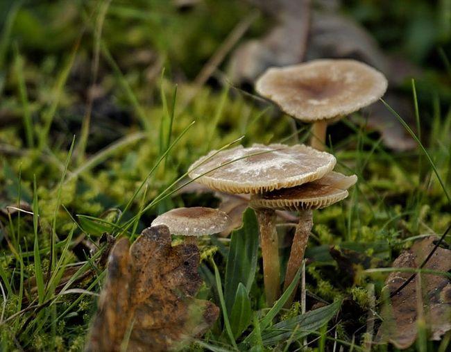 paddenstoelen in de duinen van Egmond-Binnen Mushroom Beauty In Nature Outdoors Wild Dunes Dunes Of Holland Egmond Binen Nature Close-up