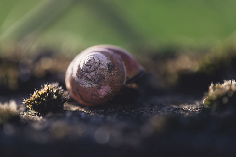 Wonder of nature. Snail with a repaired shell. Repairing Animal Animal Shell Animal Themes Animal Wildlife Animals In The Wild Close-up Day Field Gastropod Invertebrate Land Mollusk Nature No People Nusshain 04 18 One Animal Outdoors Plant Selective Focus Shell Snail Wonder Of Nature