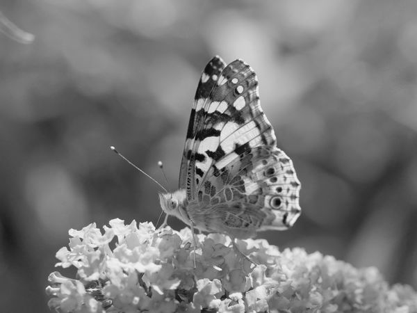 Painted Lady - Distelfalter Animals Animals In The Wild Black And White Butterfly Fragility Insect Monochrome Photography Nature No People Outdoors Painted Lady Pollination Distelfalter EyeEm Nature Lover Taking Photos From My Point Of View Close-up Exceptional Photographs Macro Bokeh Bnw Black & White Animal Themes Macro Nature