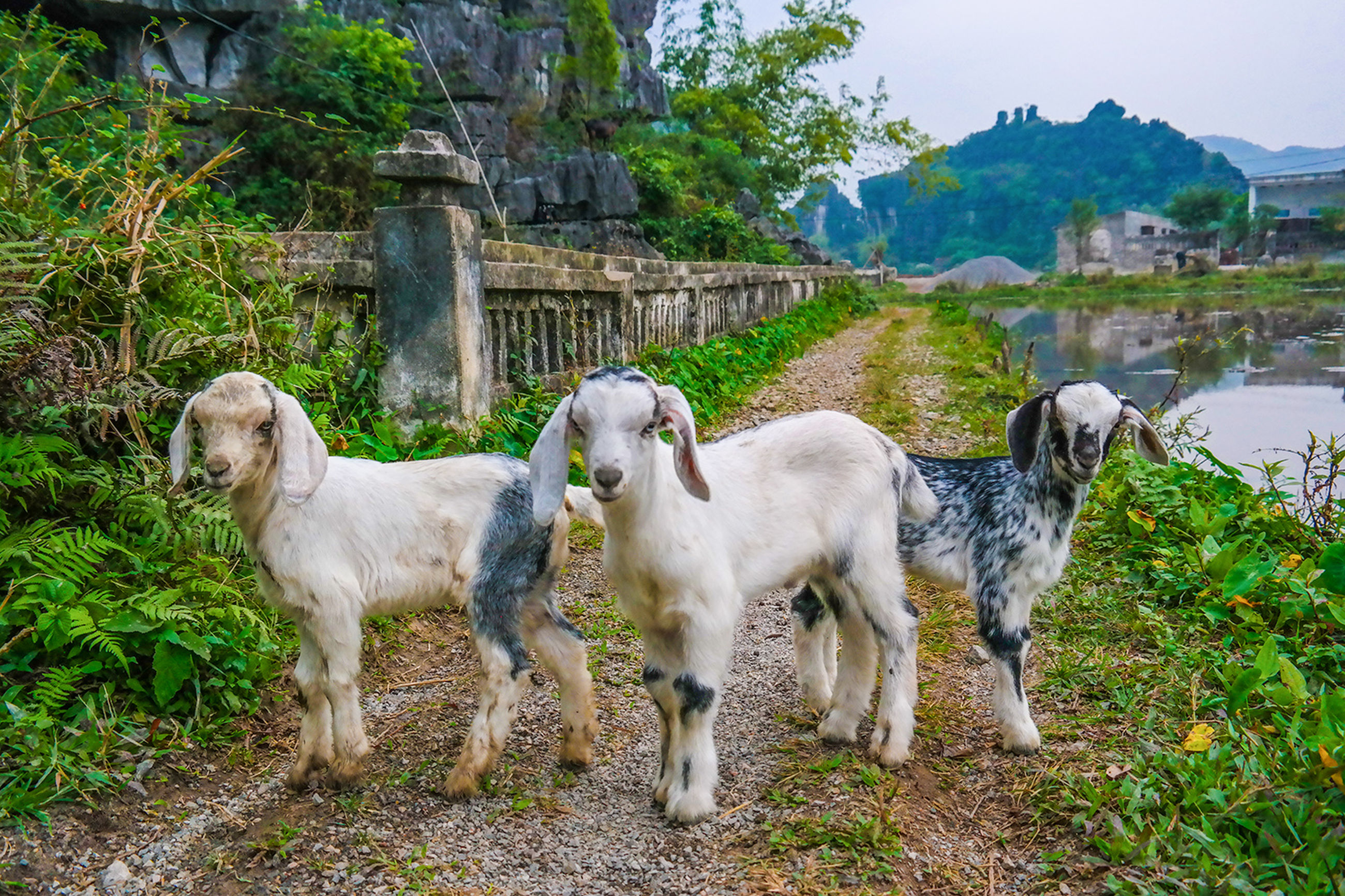 domestic animals, animal themes, mammal, grass, livestock, field, two animals, built structure, architecture, standing, day, cow, building exterior, outdoors, nature, sheep, no people, plant, domestic cattle, pets