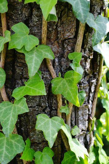 Leaf Full Frame Backgrounds Textured  Close-up Green Color Plant Leaf Vein Leaves Ivy Young Plant