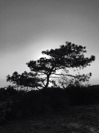 Tree Nature Landscape Growth Tranquil Scene Beauty In Nature Outdoors Tranquility No People Lone Silhouette Scenics Clear Sky Day Sky Forest Branch Grass Torrey Pine IPhoneography IPhone7Plus Desert