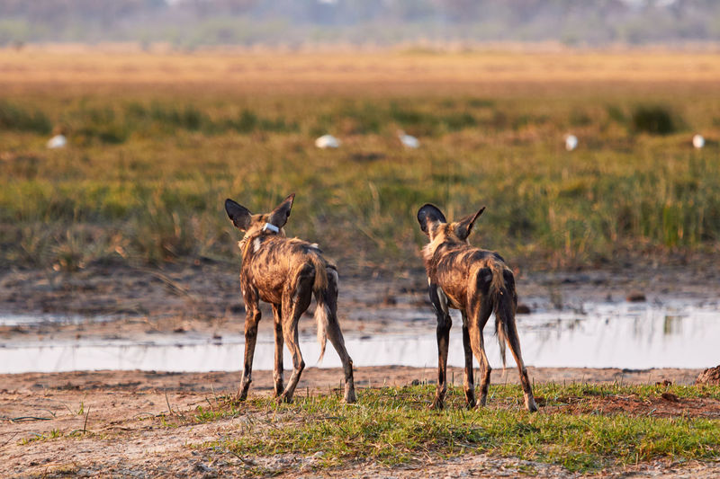 View Of Hyenas Standing On Field