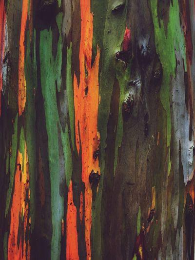 Tree Nature Close-up Rainbow Eucalyptus Beauty In Nature Rainbow Eucalyptus Tree Bark Bark Texture Bark Close-up