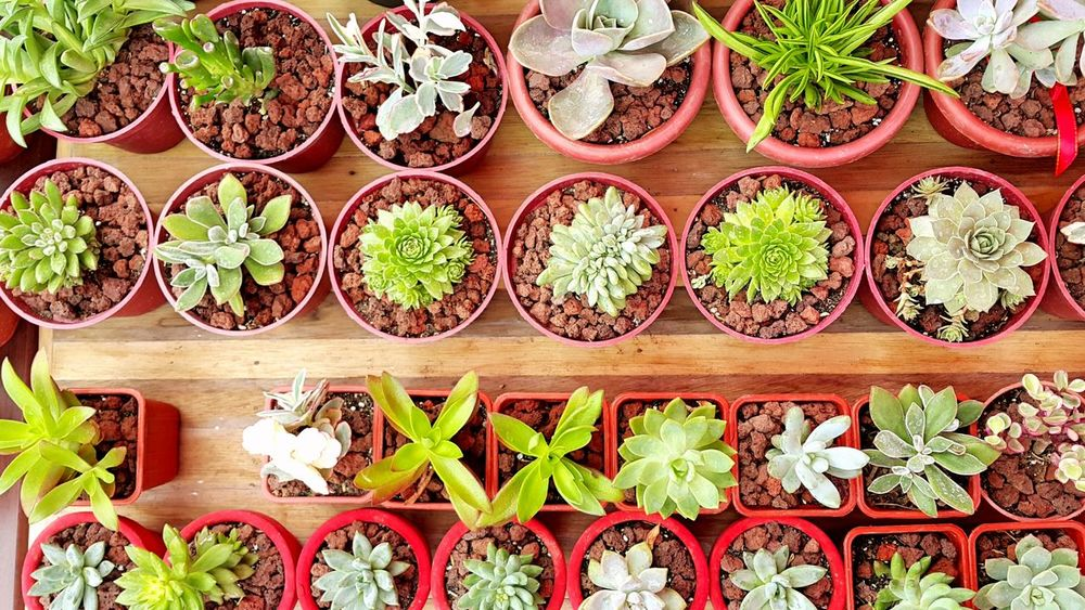 In A Row Order No People Variation Large Group Of Objects Growth Green Color Directly Above Plant Arrangement Indoors  Nature Food Day Freshness Close-up Medical Cannabis Succulents Succulent Plants Green Plants EyeEmNewHere EyeEm Best Shots EyeEmBestPics EyeEm Best Edits