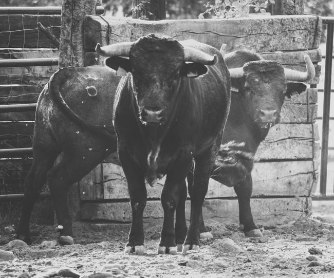 Muuuu Mammal Livestock Animal Animal Themes Domestic Animals Standing Domestic Pets Cattle Group Of Animals Vertebrate No People Portrait Cow Day Looking At Camera Herbivorous Animal Wildlife Field Nature Outdoors Animal Pen