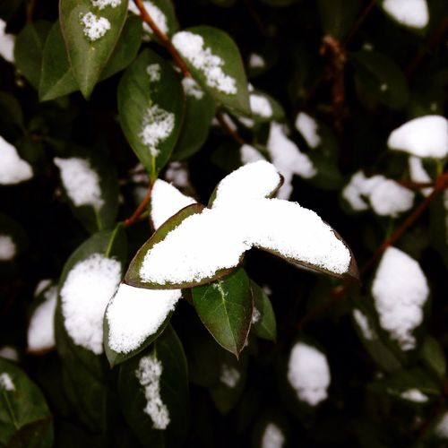 Snow #leaves Nature
