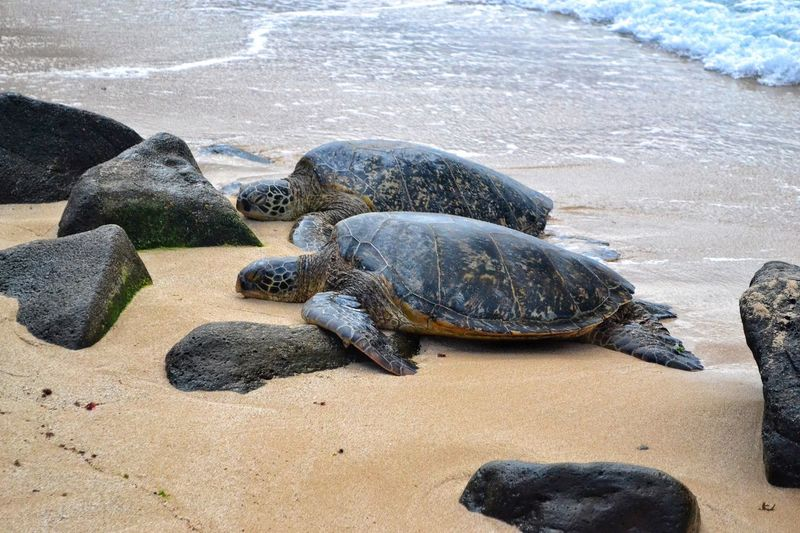 Sea Beach Animal Themes Water Animals In The Wild Animal Wildlife Reptile One Animal Nature Outdoors Ocean Day Tortoise Seaturtles Hawaii Wild Beachphotography Pair Nature Photography Animals In The Wild Oahu, Hawaii Northshore Sand Sand & Sea Nopeople