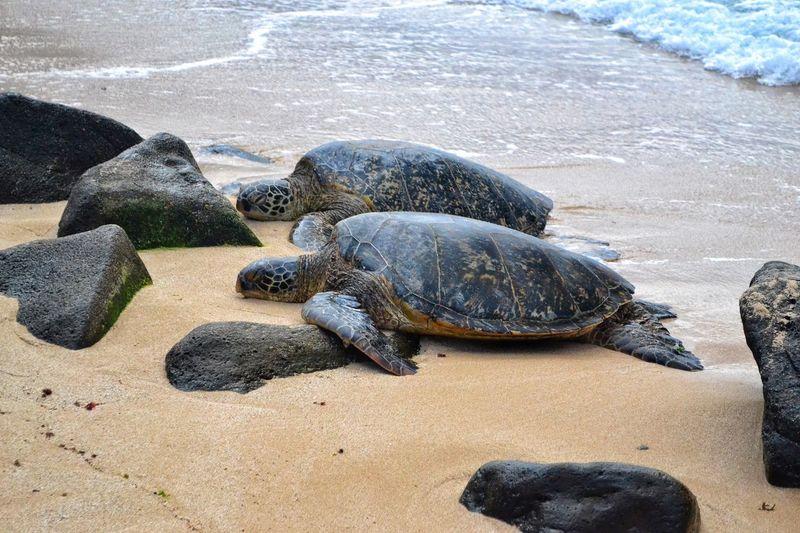Turtles On Beach In Hawaii
