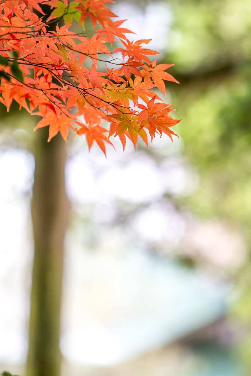 Low Angle View Of Orange Leaves Growing On Tree