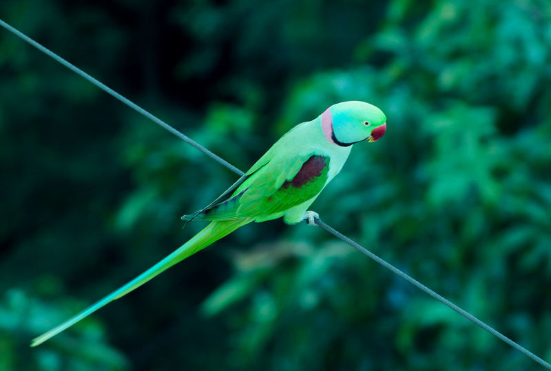 Beauty In Nature Bird Bird Photography Birds Birds Of EyeEm  Birds_collection Blue Cable Close-up Day Flying Focus On Foreground Fragility Green Green Color Multi Colored Nature No People Parrot Parrot Lover Parrots Parrots Of Eyeem Selective Focus String Vibrant Color