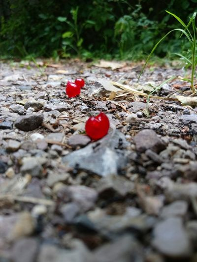 Ameisenstraße mit roten Beeren Red No People Outdoors Nature Ant Animal Themes Ants Animals In The Wild Ants At Work Ants On The Go! Ants Close Up Antsveiw Antsmarching Ants_life Ants On Rocks Ants Working Ants Out Of Focus