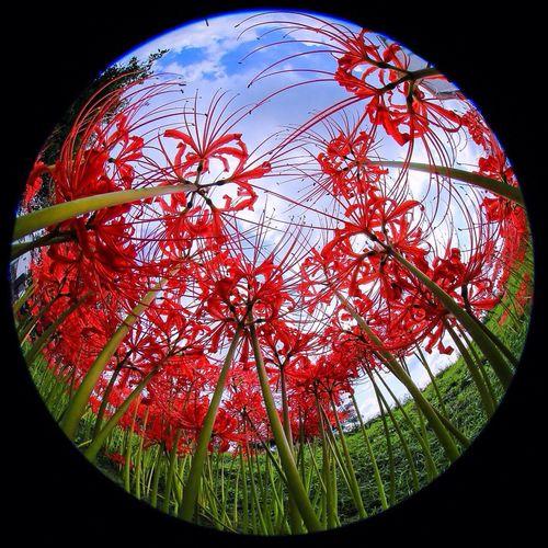 朱い森の下で ひがんばな 彼岸花 曼珠沙華 Fisheye Flowers Licorice Spiderlily Red