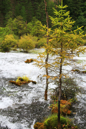 Tree Water Forest Plant Nature River No People Beauty In Nature Tranquility Outdoors Environment Growth Stream - Flowing Water Flowing Water Pine Tree Scenics - Nature Tranquil Scene