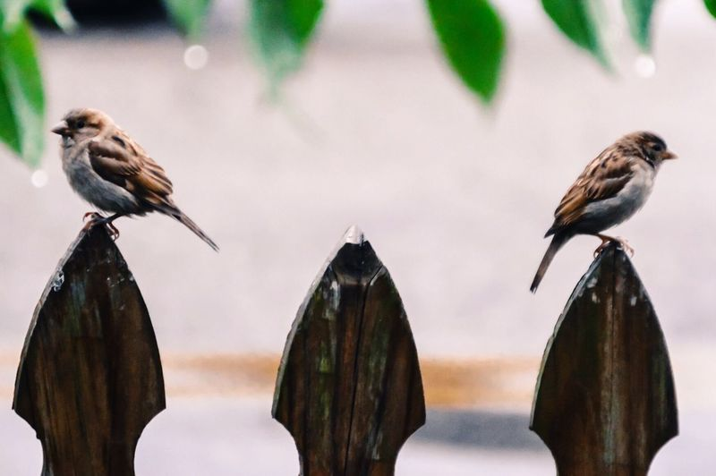 Side view of sparrows perching on fence