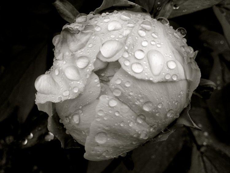 Blackandwhite Flowers Garden Grey Plants Slipping Springtime Water Reflections