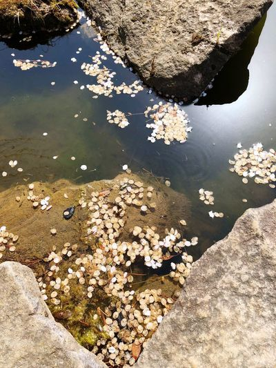池 めだか 桜の花びら Petals Water High Angle View Nature Day Reflection Lake Tranquility Beauty In Nature