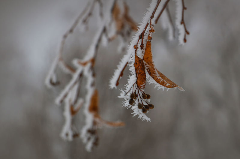 Shades Of Winter Beauty In Nature Branch Close-up Cold Temperature Day Focus On Foreground Frozen Linden Tree Nature No People Outdoors Rime Rime On Tree Snow Weather Winter