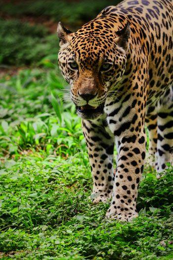 Big cat Leopard Animal Bigcats Wildlife & Nature Wildlife