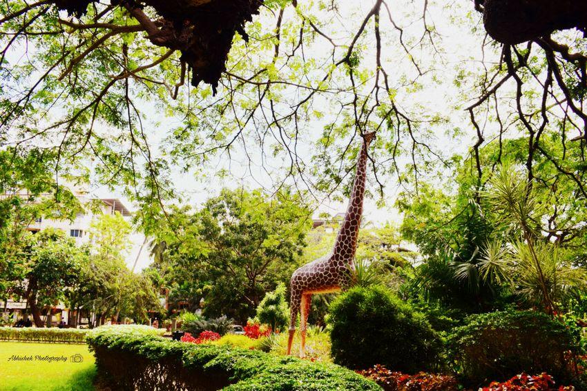 Park Giraffe Leaves🌿 Nature Clicked On Nikon D3300 Branch Freshness Plant Flower Beauty In Nature