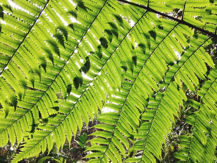Ferns Green Color Plant Growth No People Day Nature Beauty In Nature Full Frame Leaf Plant Part Close-up Backgrounds Outdoors Tranquility Natural Pattern Field Tree Land Pattern Sunlight