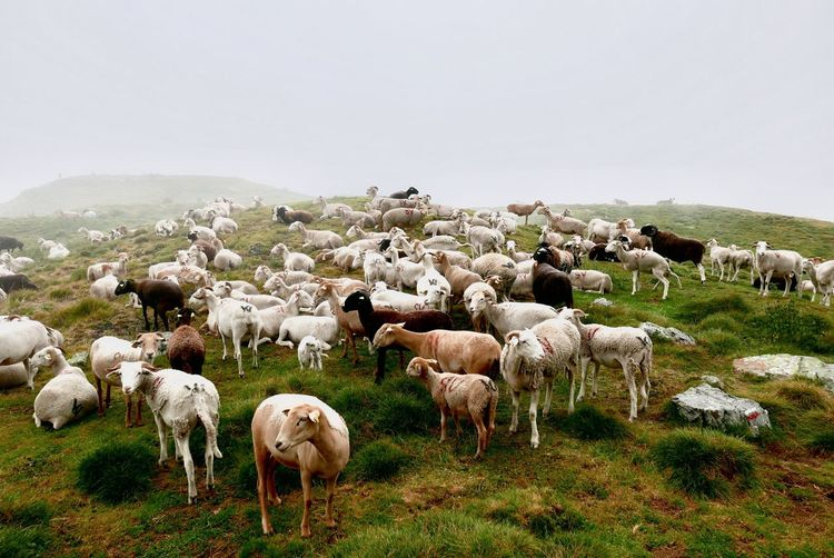 Livestock Mammal Domestic Animals Group Of Animals Animal Themes Domestic Animal Sheep Pets Large Group Of Animals Vertebrate Field Sky Flock Of Sheep Grass Landscape No People Nature Land Environment