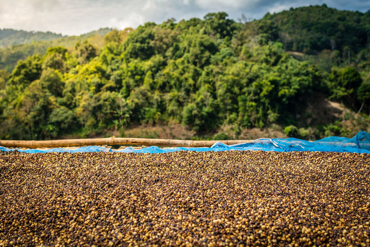 Drying Raw Coffee Beans Against Mountains