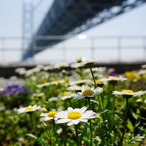 明石海峡大橋 Flowers Japan Kōbe-shi EyeEm Best Shots Relaxing Kobe Bridge